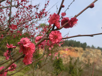 红色梅花枝条摄影图