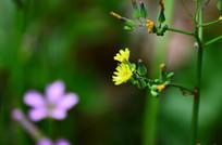 黄色小野花与花骨朵特写图片