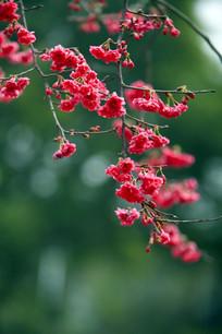 浪漫樱花树下