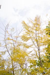 蓝花楹的黄色树叶