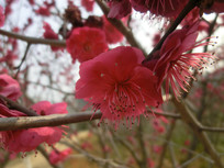 两朵红色梅花摄影图