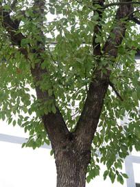 香樟树树叶和枝叶
