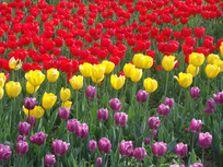 彩色的郁金香花丛