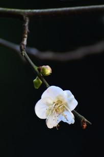 灿烂的梅花与花骨朵