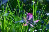 草丛中的荷花
