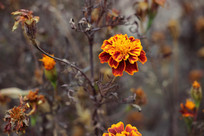 冬季盛开的小菊花