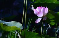 含苞待放的荷花花朵图片