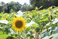 面向镜头的向日葵