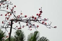 木棉花树枝图片