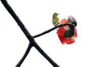 木棉花枝头上的小鸟