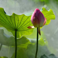 荷叶荷花花骨朵风景图片