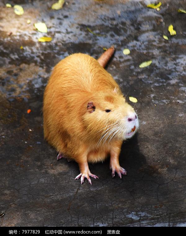金毛鼠图片,高清大图_陆地动物素材