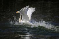 展翅的白天鹅