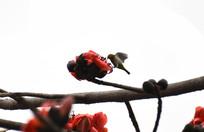 展翅绣眼鸟与木棉花