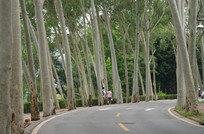 道路边的桉树林风景