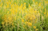 一片黄色花草风景图片