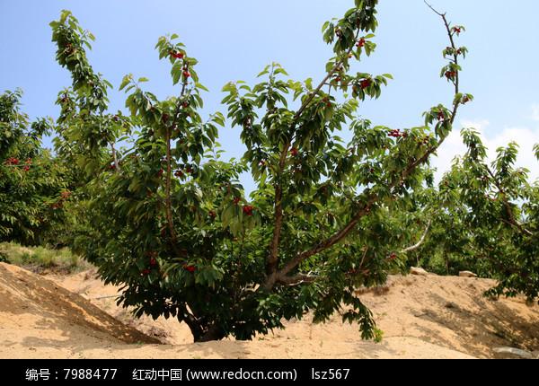大樱桃树高清图片高清图片下载 编号7988477 红动网图片