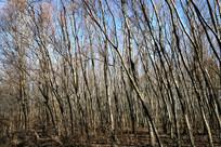 冬天的杨树林图片