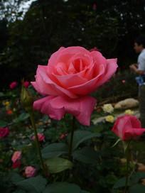 玫瑰花风景图片