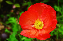 红色的野罂粟花