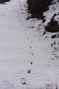 雪地上留下的动物脚印
