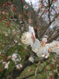 一朵白色的梅花