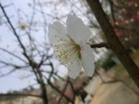 一朵侧面的白色梅花