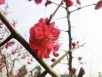 一朵盛开的红梅