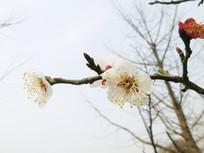 一枝盛开的梅花