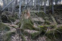 原始森林枯木