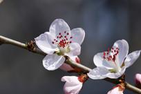 白色的红芯花