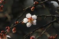 白色盛开的梅花