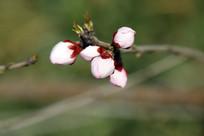 粉色的花苞