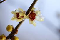 挂着冰花盛开的黄色红芯腊梅花