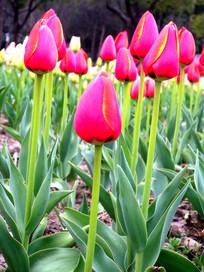 含苞红色郁金香