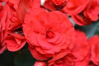 红色的美丽花朵