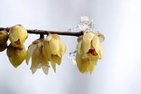 黄色倒开的腊梅花