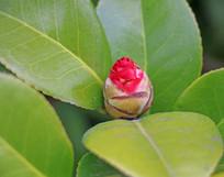 山茶花花骨朵高清摄影图