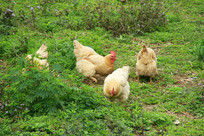 乡村田野草丛母鸡觅食摄影照片