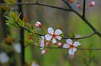 樱花高清摄影图