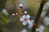 樱花摄影图