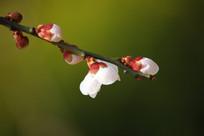 一枝独秀的梅花
