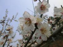 白色梅花枝头