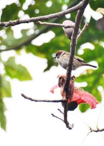 树枝上的麻雀小鸟