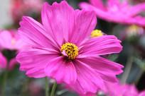 桃红色绽放菊花花粉掉落摄影照片