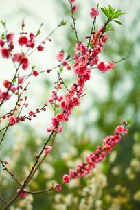 桃花挂满枝头