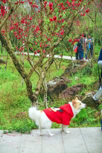 桃花树下的宠物狗