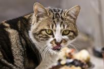 舔舌头的可爱猫咪