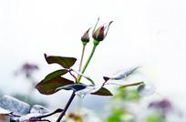一枝玫瑰花骨朵