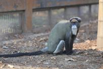 白臀长尾猴
